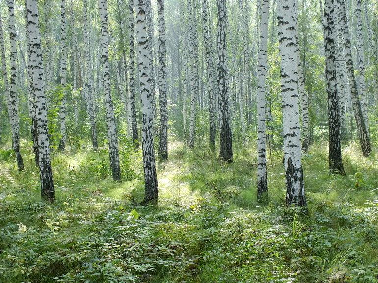 Березы образуют целые леса