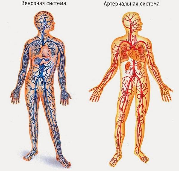 Строение сердца человека и его стенок, функции, круги кровообращения