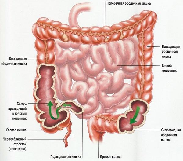 Строение органов пищеварения кратко