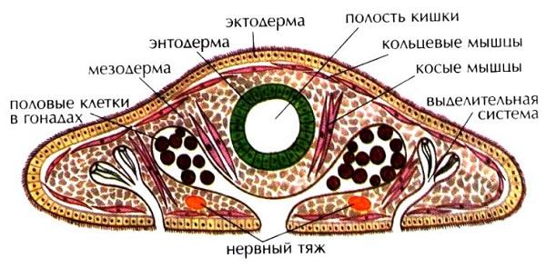 Плоские черви — общая характеристика