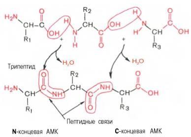 Что такое белки — строение и функции