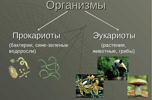 Отличие прокариот от эукариот таблица