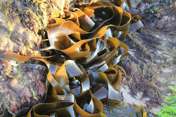 Виды водорослей и характеристики их разновидностей
