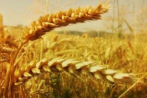 География зерновых культур