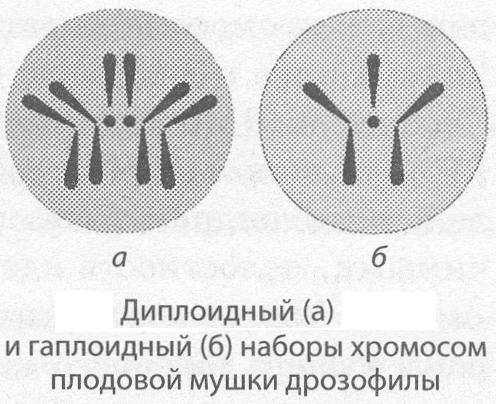 Функции хромосом в клетке