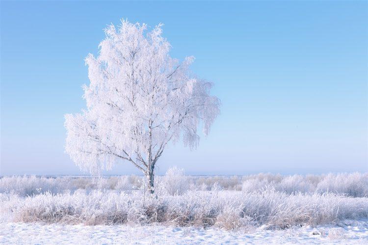 Белая береза зимой